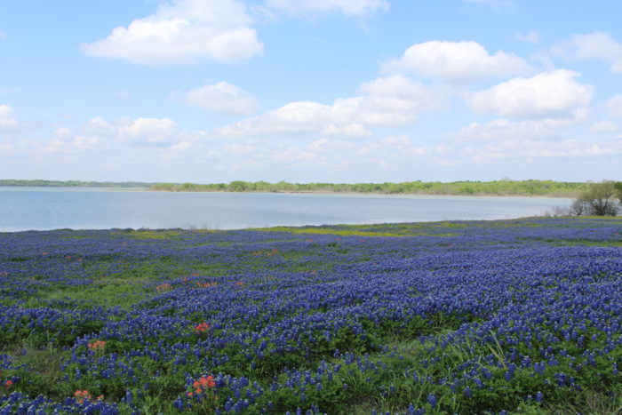 Field of Bluebonnets in Texas